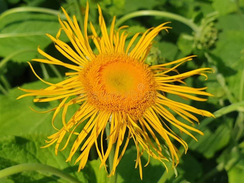 Fiore giallo sveglio nella fine della fioritura sul macro colpo fotografia stock