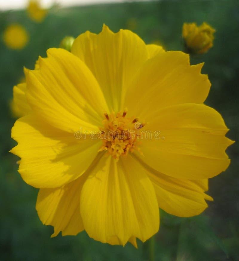 Fiore giallo unico del fiore della primavera immagini stock