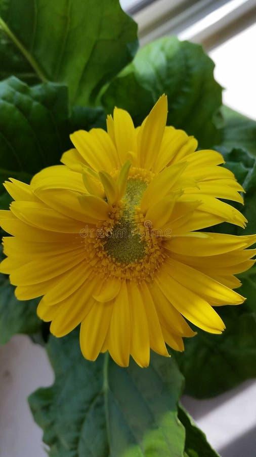 Fiore giallo unito dei gemelli immagine stock