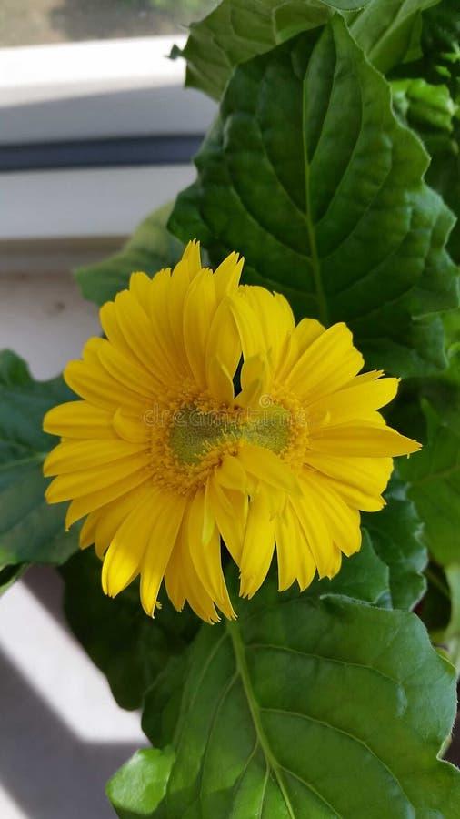 Fiore giallo unito dei gemelli fotografia stock