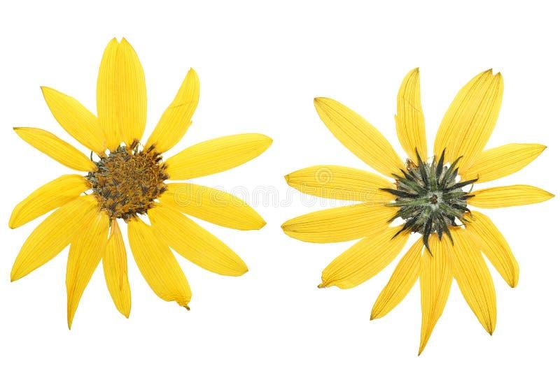 Fiore giallo urgente e secco del topinambur (topinambur immagini stock libere da diritti