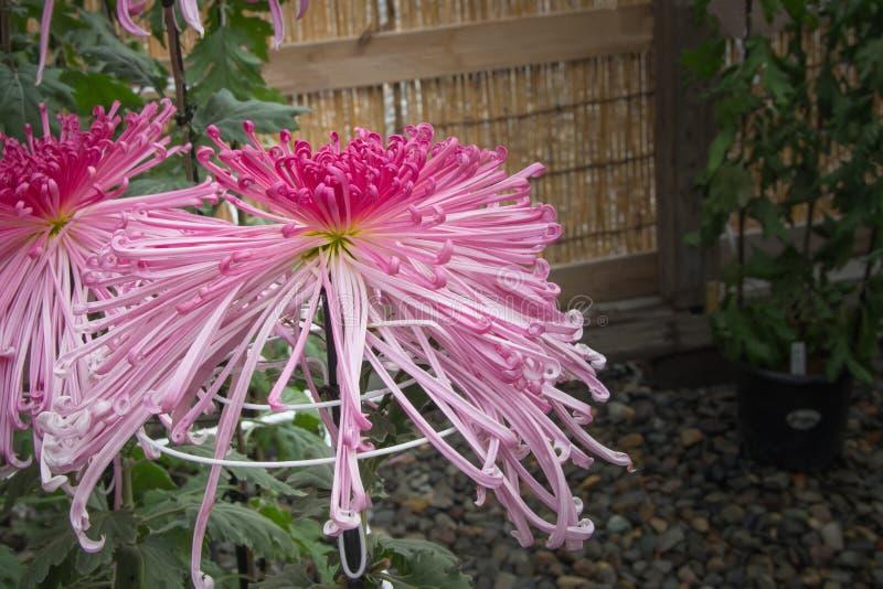 Fiore giapponese del crisantemo rosa del ragno nel giardino immagine stock libera da diritti