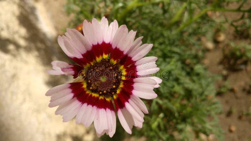 Fiore in giardino immagine stock libera da diritti