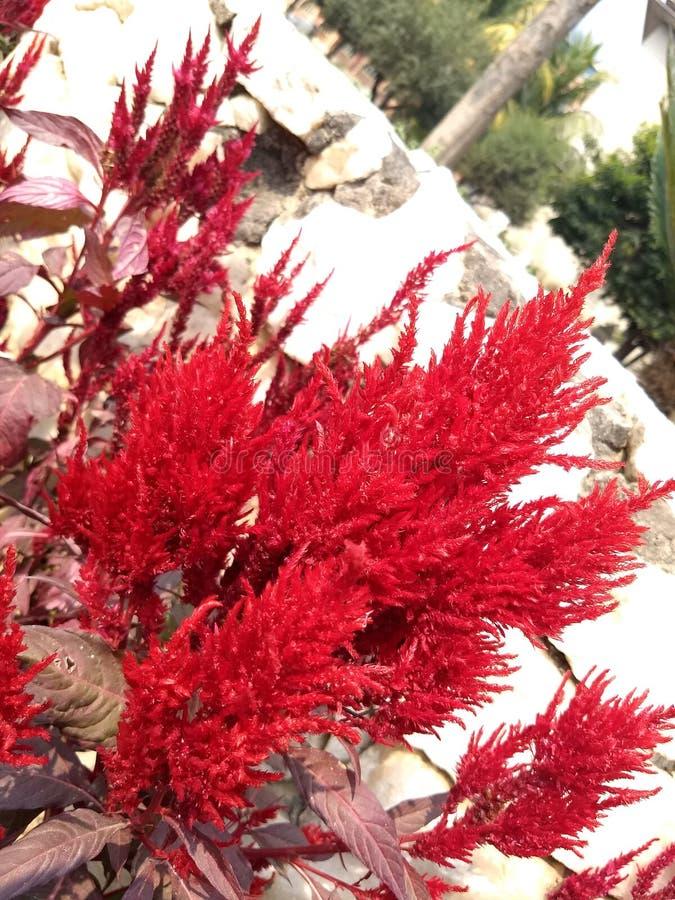 Fiore gigante del red&white della natura immagini stock libere da diritti