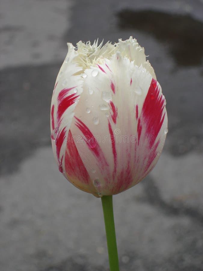 Fiore guarnito 'carosello' del tulipano (bianco e rosso) fotografia stock