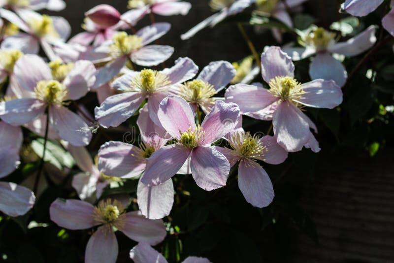 Fiore himalayano della clematide (clematide Montana) che fiorisce nel giardino fotografie stock