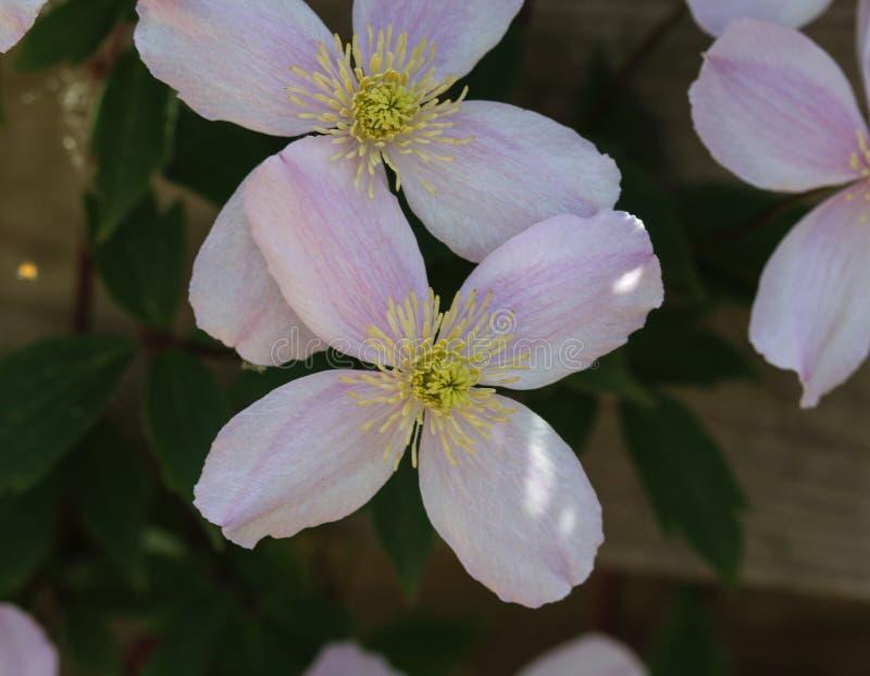 Fiore himalayano della clematide (clematide Montana) che fiorisce nel giardino fotografie stock libere da diritti