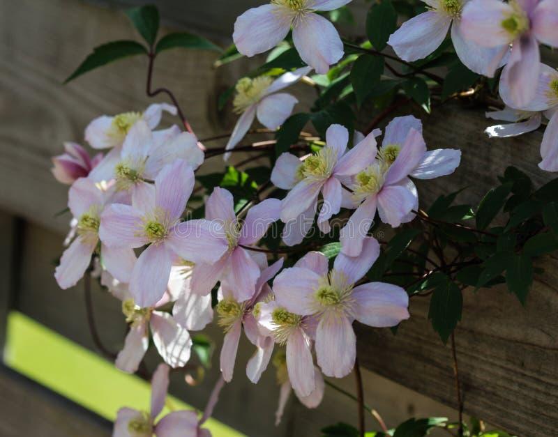 Fiore himalayano della clematide (clematide Montana) che fiorisce nel giardino immagini stock