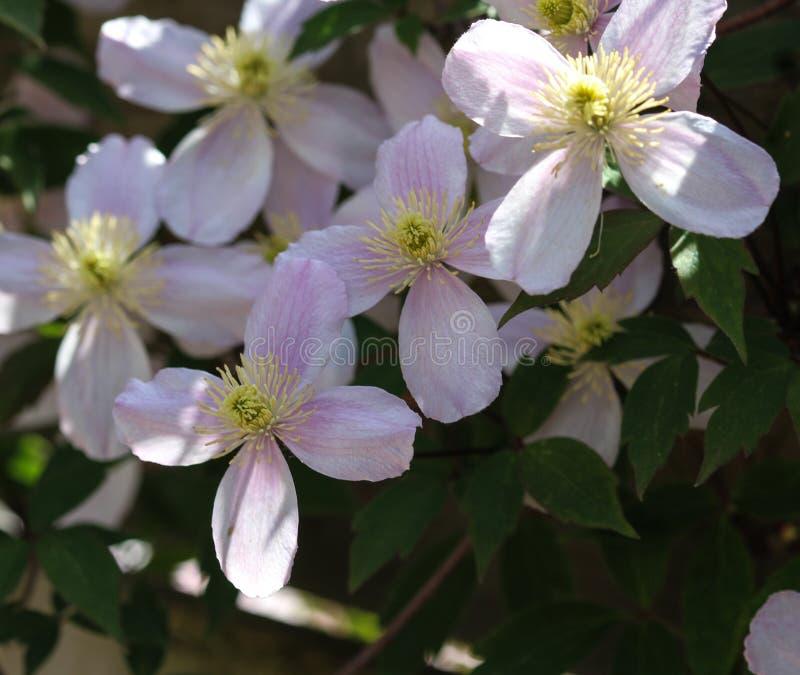 Fiore himalayano della clematide (clematide Montana) che fiorisce nel giardino immagine stock libera da diritti