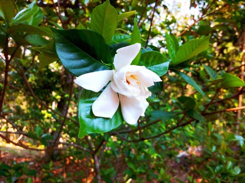Fiore indiano bianco che appende sul ramo fotografia stock libera da diritti