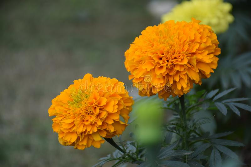 Fiore indiano Gendu Phula fotografia stock libera da diritti