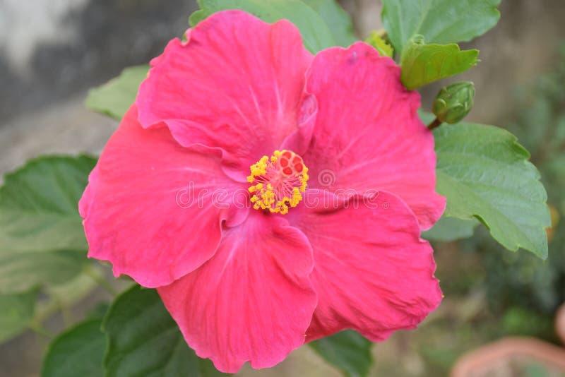 Fiore indiano Mandarphula fotografie stock libere da diritti
