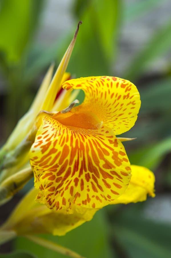 Fiore indica giallo di Canna con fondo confuso fotografia stock libera da diritti