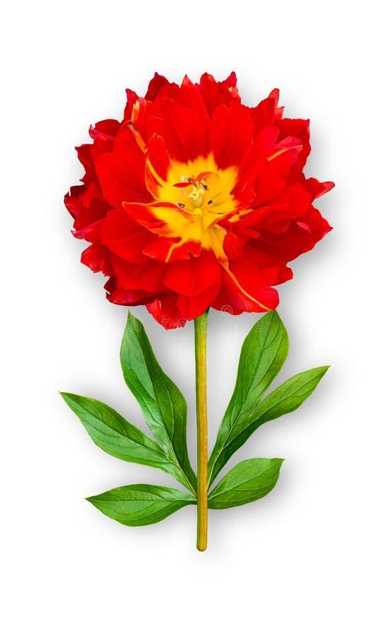 Fiore insolito combinato del tulipano tulipano Rosso-giallo con le foglie della peonia Oggetto di arte su un fondo bianco immagini stock libere da diritti