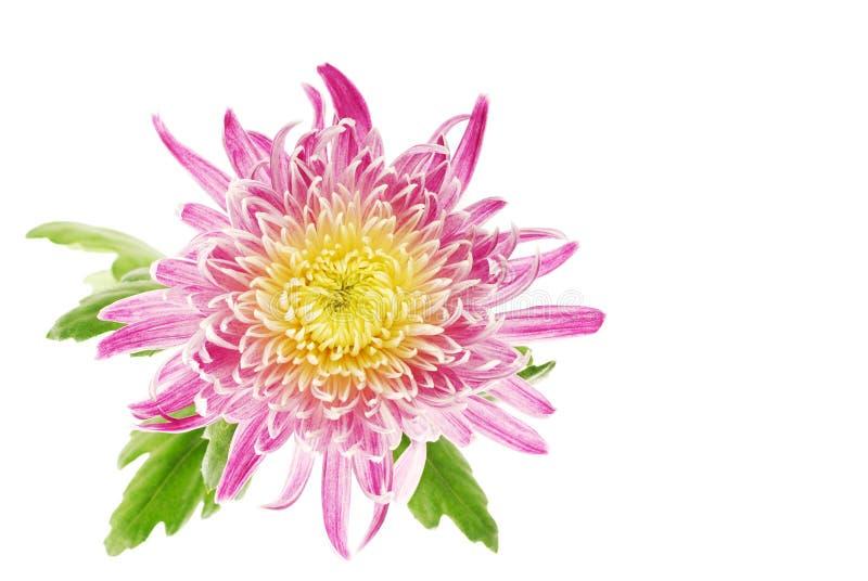 Fiore isolato del crisantemo fotografia stock