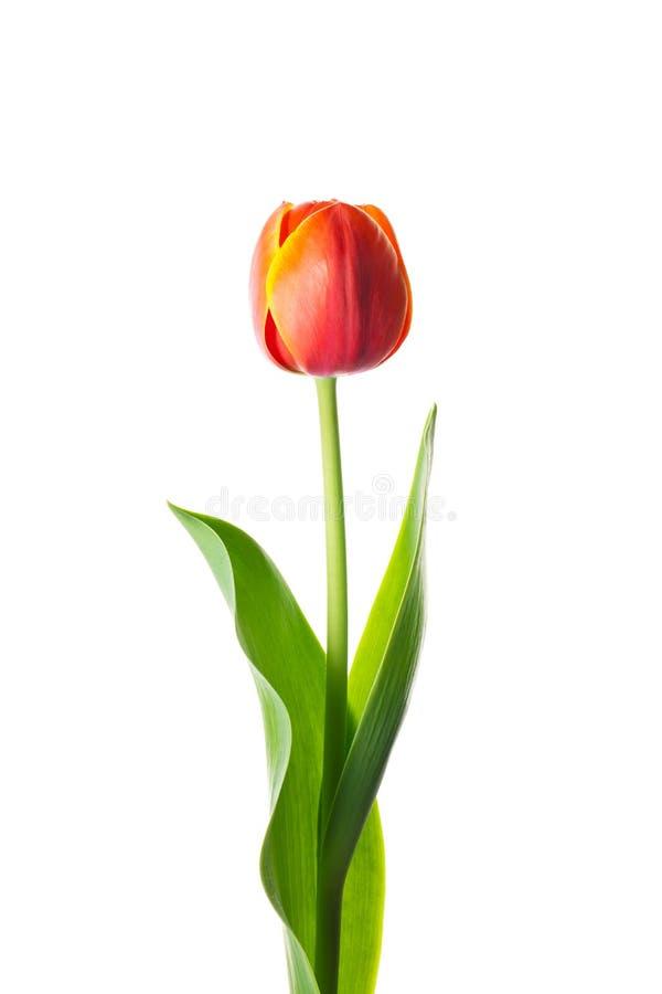 Fiore isolato del tulipano immagine stock libera da diritti