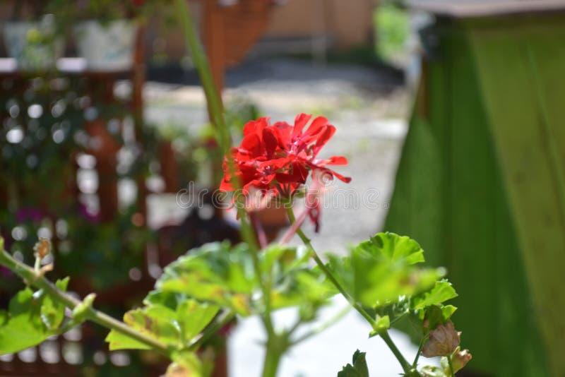 Fiore Kalachik fotografia stock