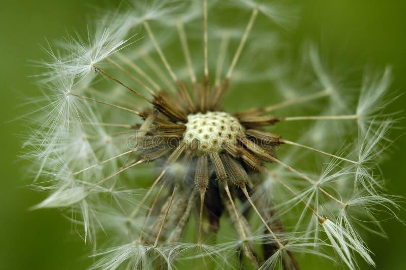Fiore lanuginoso fotografie stock libere da diritti