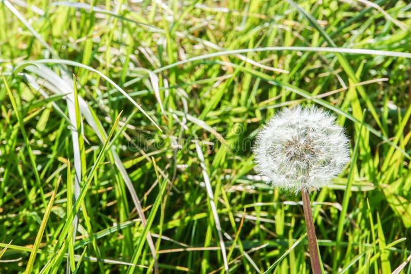 Fiore lanuginoso bianco del dente di leone sull'erba verde immagine stock libera da diritti