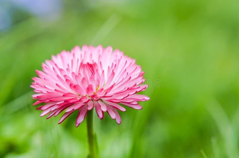 Fiore lanuginoso della margherita immagini stock