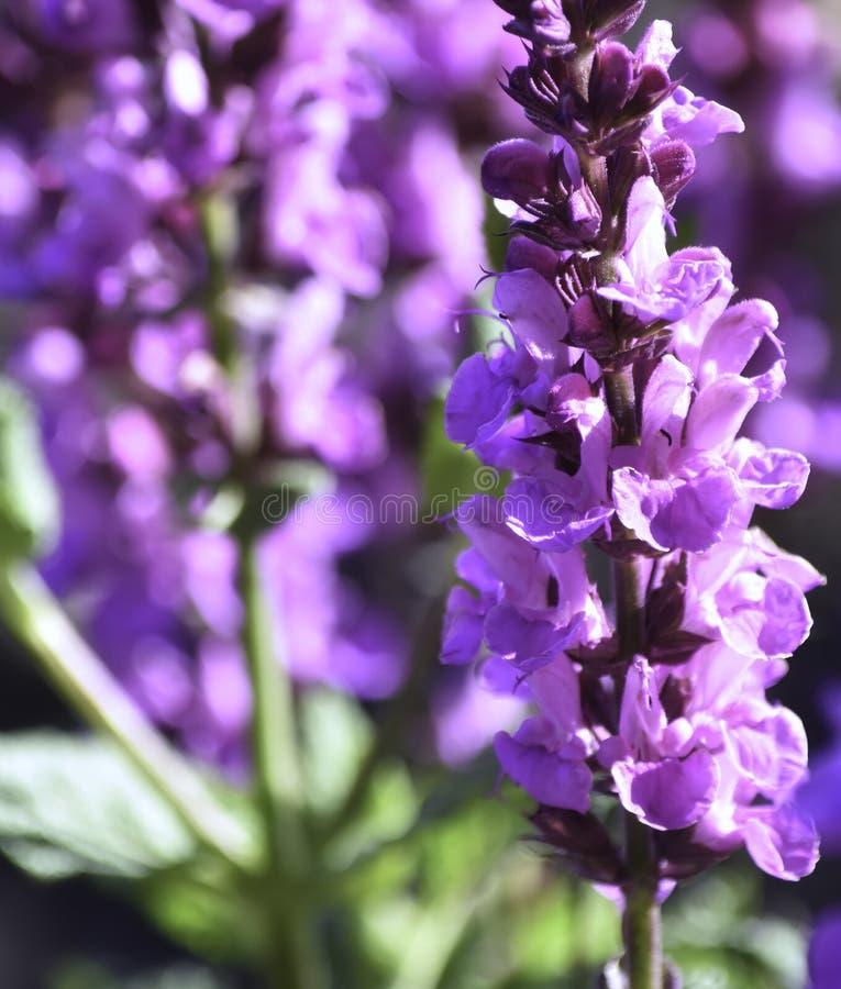 Fiore, lavanda, primo piano Bei colore porpora e molto fragrante fotografia stock libera da diritti