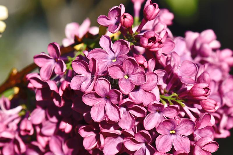 Fiore lilla fotografie stock