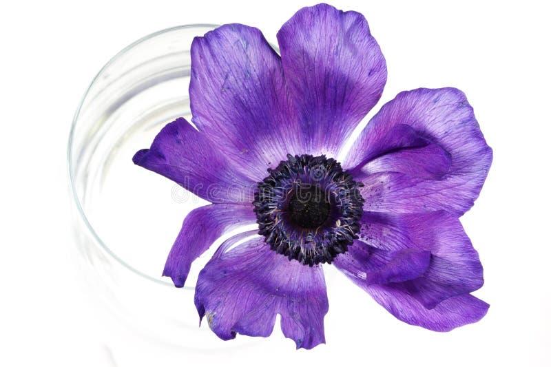 Download Fiore lilla fotografia stock. Immagine di fiore, vetro - 211334
