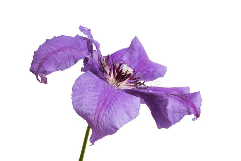 fiore lilla della clematide isolato immagine stock