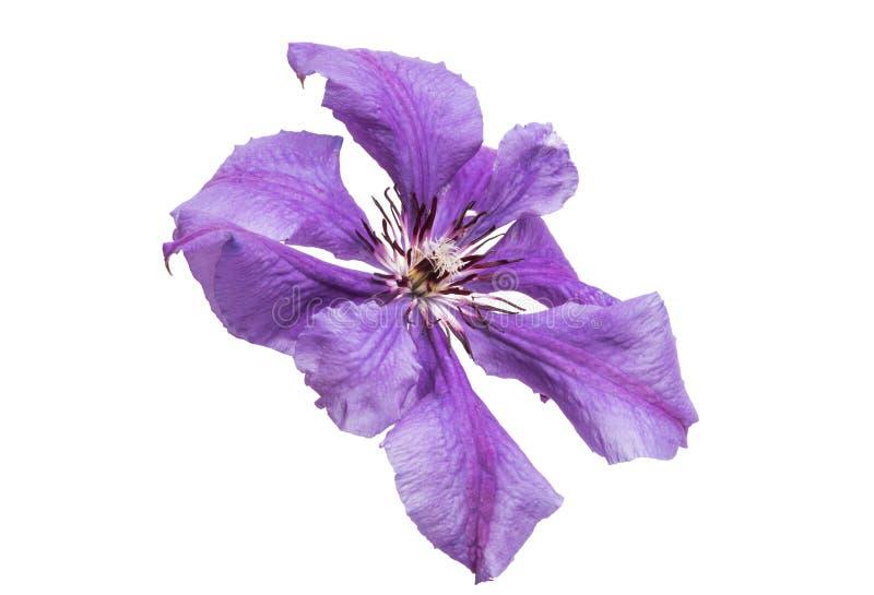 fiore lilla della clematide isolato fotografie stock
