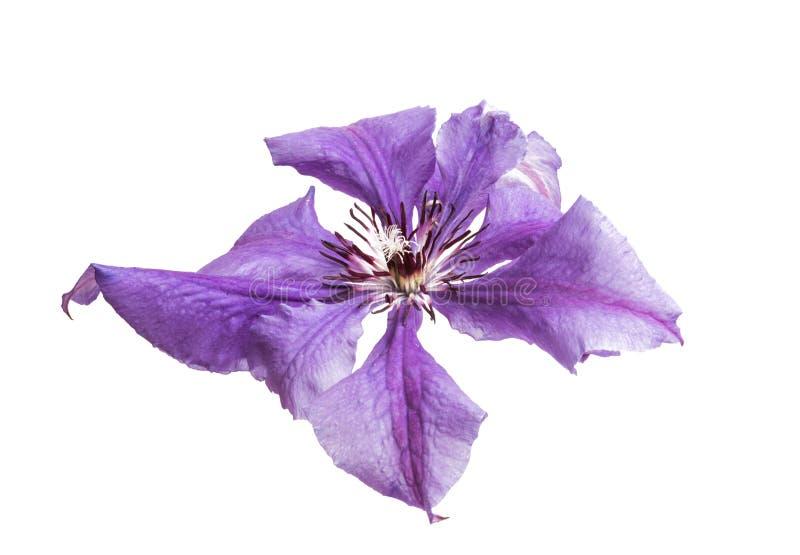 fiore lilla della clematide isolato fotografia stock