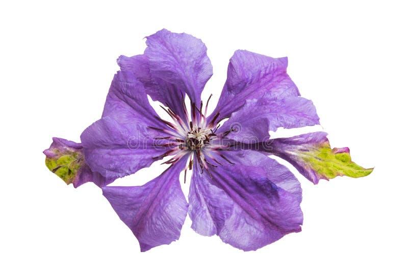 fiore lilla della clematide isolato fotografia stock libera da diritti