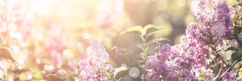 Fiore lilla della molla fotografie stock libere da diritti