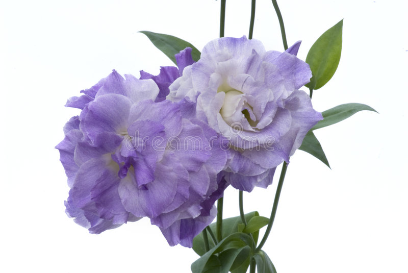 Fiore-Lisianthus contro bianco 255 fotografia stock