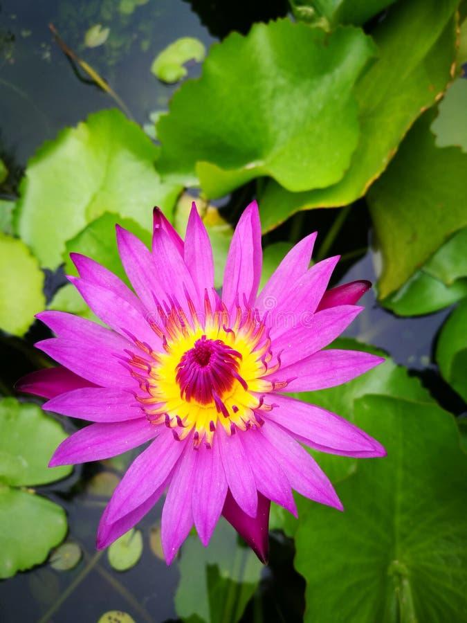 Fiore Lotus immagini stock libere da diritti
