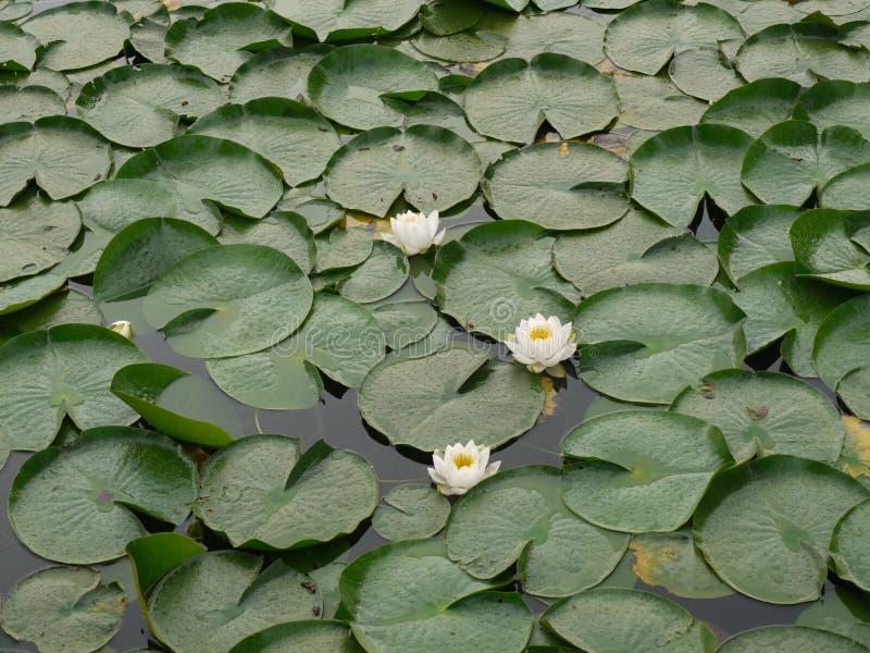 Fiore Lotus dell'acqua immagine stock libera da diritti
