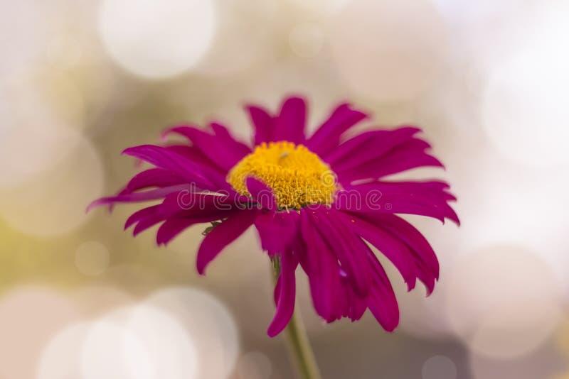 Fiore luminoso dell'echinacea su un fondo di bokeh variopinto molle fotografie stock libere da diritti