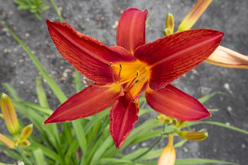 Fiore magico rosso del ` del ` rosso dell'emerocallide un giorno di estate illustrazione di stock