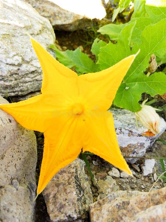 Fiore maschio della zucca, fiore della zucca fotografia stock libera da diritti
