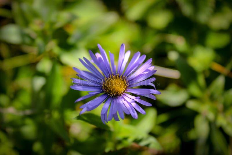 Fiore meraviglioso nelle montagne di Himachal Pradesh, India fotografia stock libera da diritti