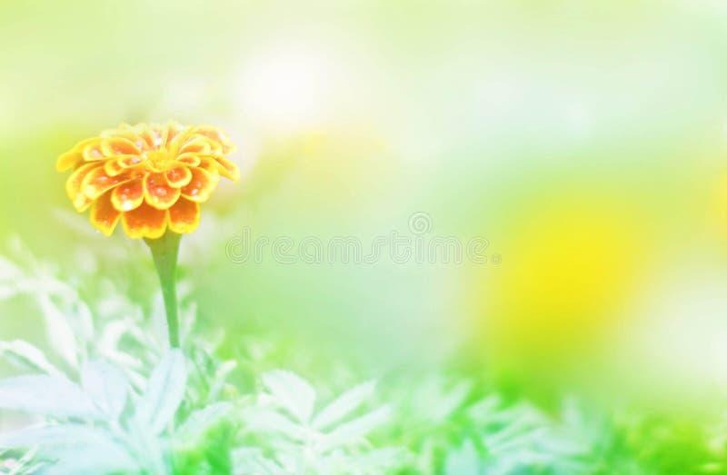 Fiore molle del tagete della sfuocatura o fiore della calendula nel giardino su fondo verde fotografie stock libere da diritti