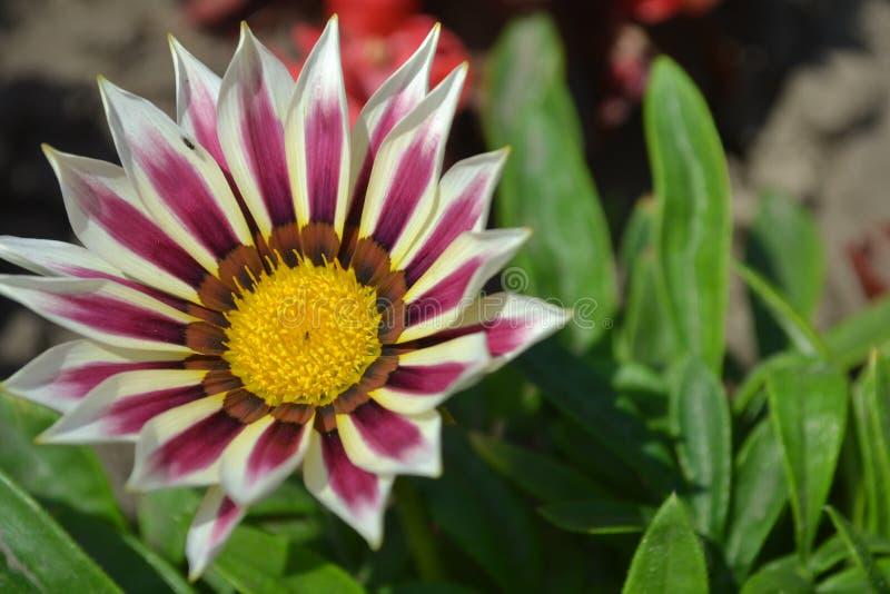 fiore, natura, rosa, porpora, giardino, loto, pianta, margherita, fiore, flora, bellezza, fiori, macro, progettazione, strutturat immagini stock