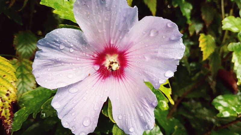 Fiore nella pioggia fotografie stock libere da diritti