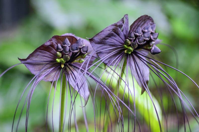 Fiore nero del pipistrello attraverso con le basette lunghe fotografie stock