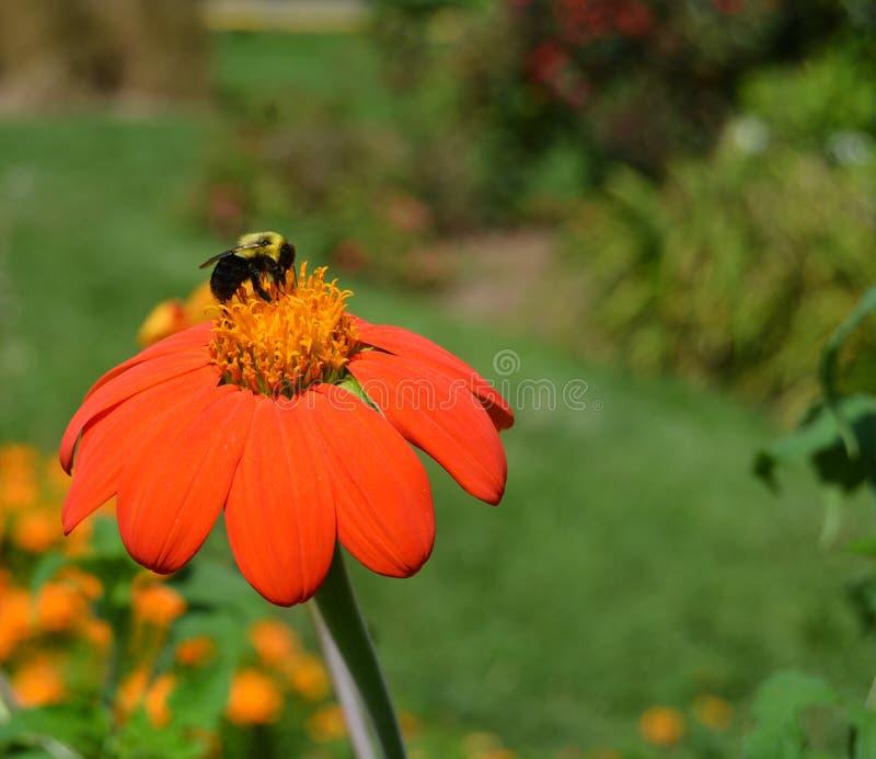 fiore occupato dell'ape fotografia stock