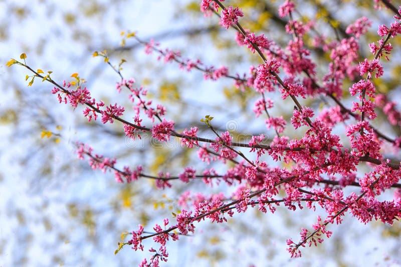 Download Fiore orientale di Redbud immagine stock. Immagine di floreale - 117980631