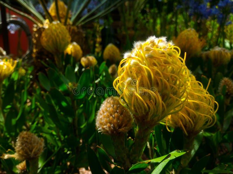 Fiore palmato giallo, volteggiante fiore, bellezza in natura, giardino fotografia stock libera da diritti