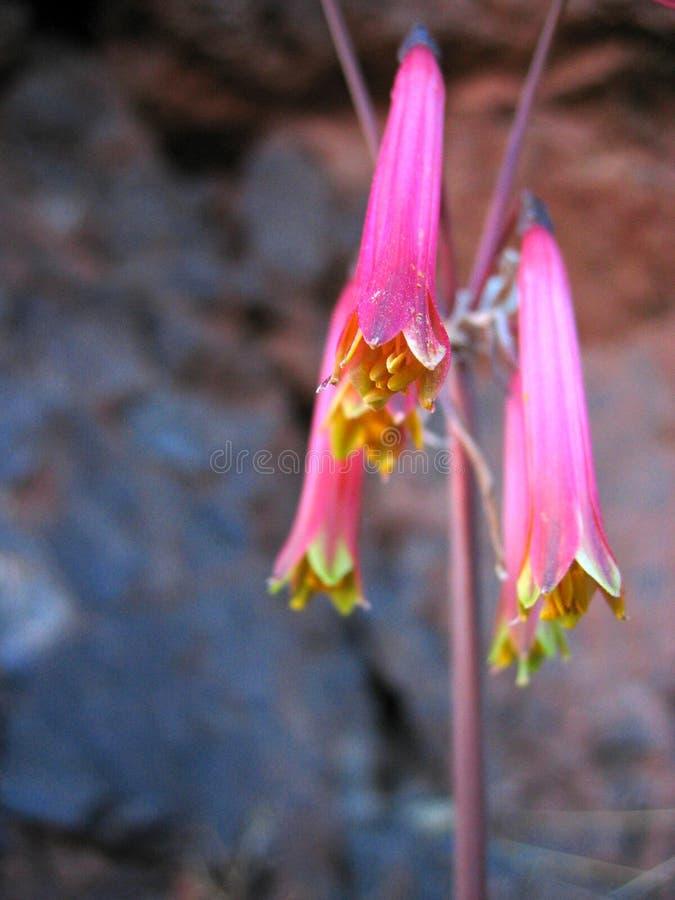 Fiore peruviano della montagna fotografie stock libere da diritti
