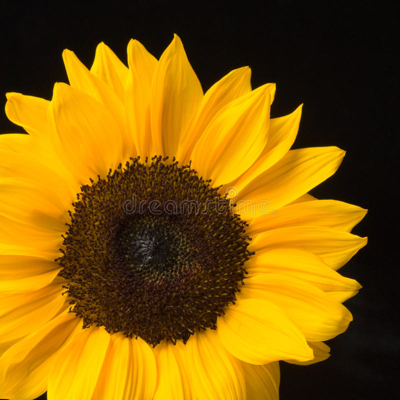 Fiore pieno di sole su priorità bassa nera fotografia stock libera da diritti