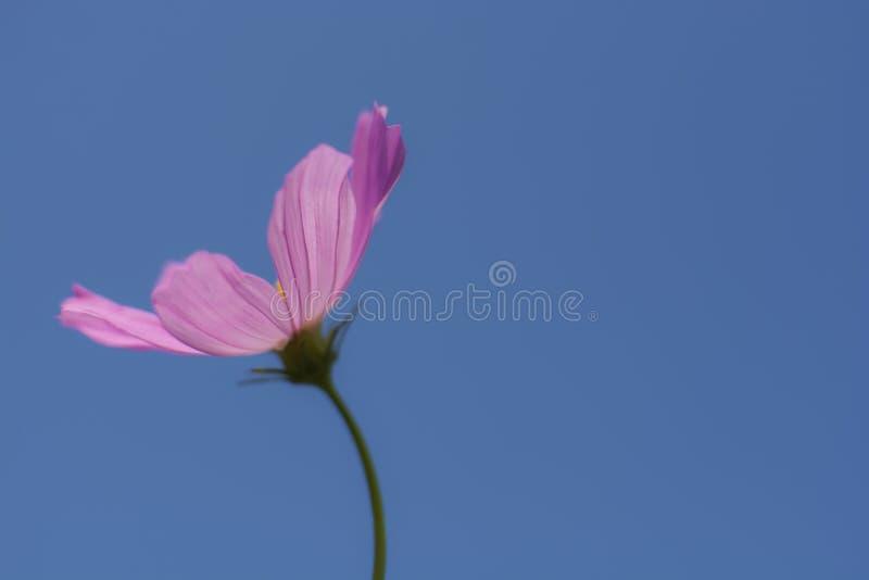 Fiore porpora bello di fioritura dell'universo del fuoco molle con cielo blu immagine stock libera da diritti