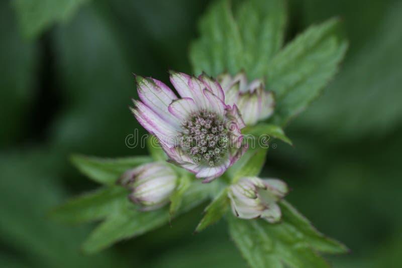 Fiore porpora bianco fotografie stock